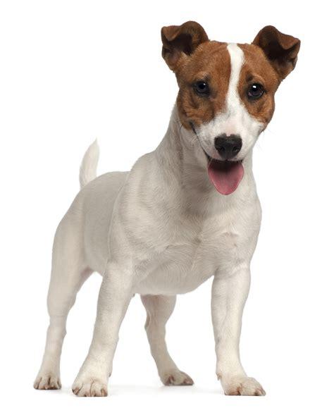 russel terrier puppy terrier breed info happy