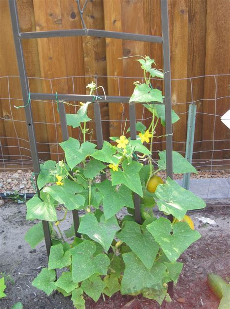 Planting Cucumbers On A Trellis growing cucumbers on a trellis how to grow cucumbers vertically