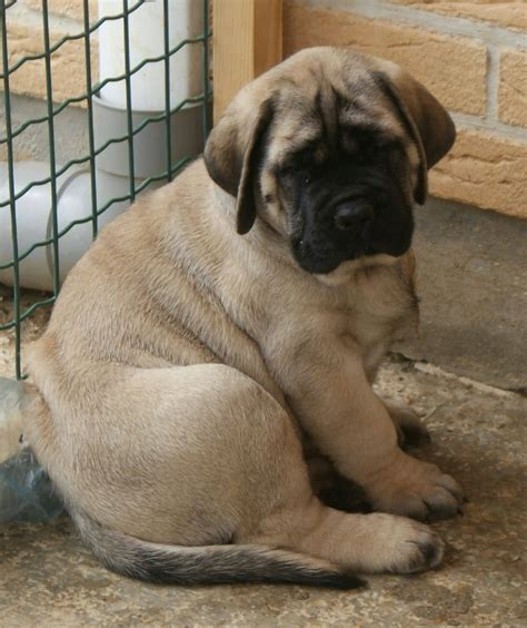 puppy mastiff 45 active mastiff dogs golfian