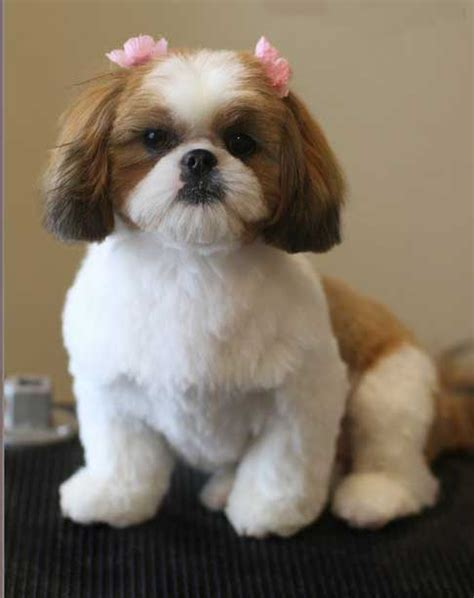 teddy breed haircuts for teddy dogs hairstylegalleries