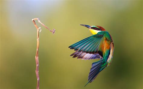 wallpaper birds bee eater wallpapers first hd wallpapers
