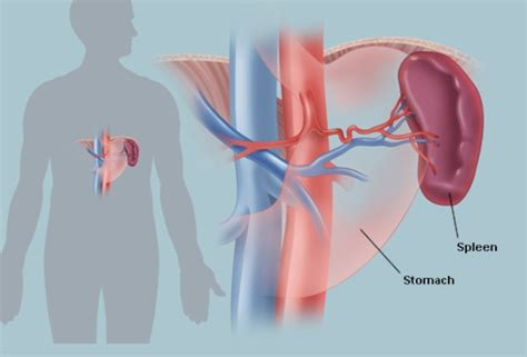 diagram of spleen the spleen human anatomy picture location function