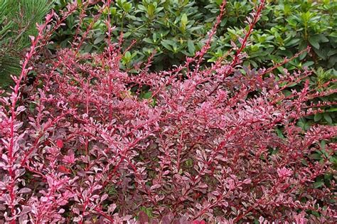 flowering shrubs canada the plant barberry shrub excellent in alberta