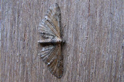 common pug common garden moth identification