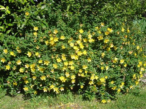 yellow flowering shrubs garden grows on you