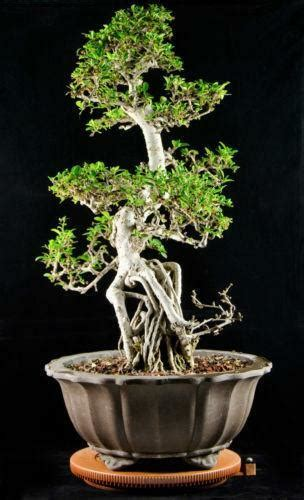 bonsai ebay fukien tea bonsai ebay