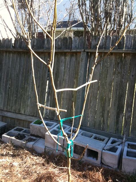 fruit tree limb spreaders category pears the bell house growing fruit trees in