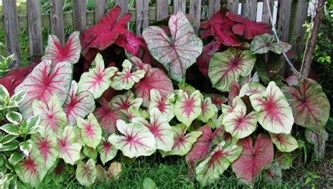 ornamental foliage plants for tropical gardens caladium