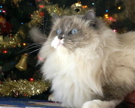 ragdoll cat and christmas tree photograph by larry allan
