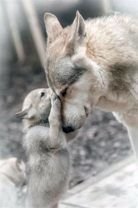 wolves  beautiful  amazing creatures  people