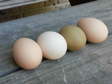 why are eggs different colors different colored chicken eggs why are some blue