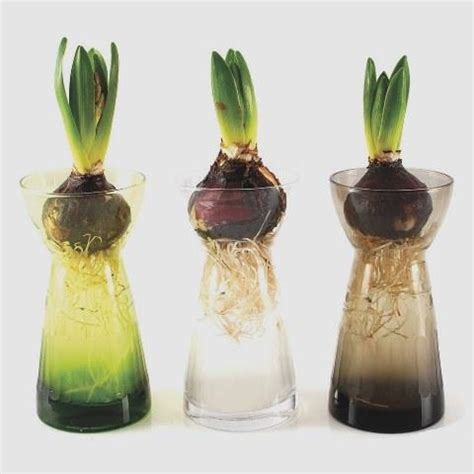 Hyacinth Bulb Vases by Hyacinth Bulb Vases Heaven In Earth