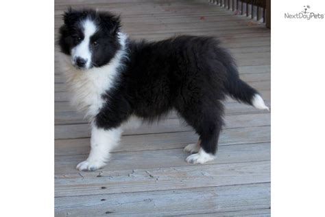 akc sheltie puppies for sale akc shetland sheepdog sheltie puppies bi blue for sale in breeds picture