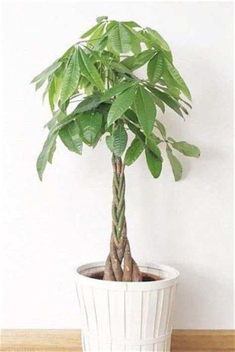 beautiful house plants 25 best ideas about money plant on pinterest planters