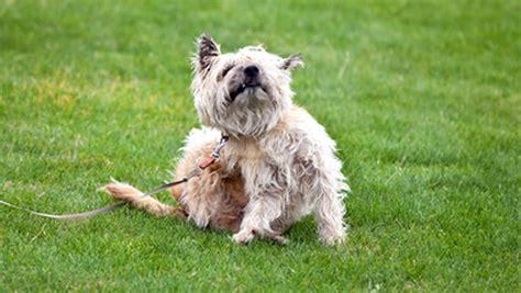 pruritus in dogs causes of itching in dogs