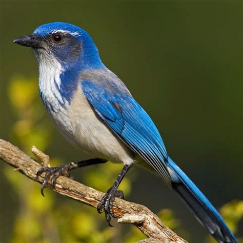 17 best images about beautiful western scrub jay bird