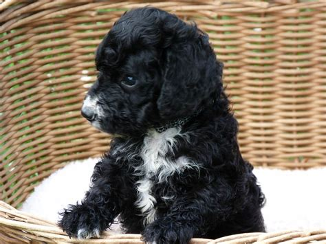 black goldendoodle puppies black goldendoodle puppies www imgkid the image kid has it