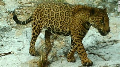 arizona s elusive jaguar leads intriguing cnn