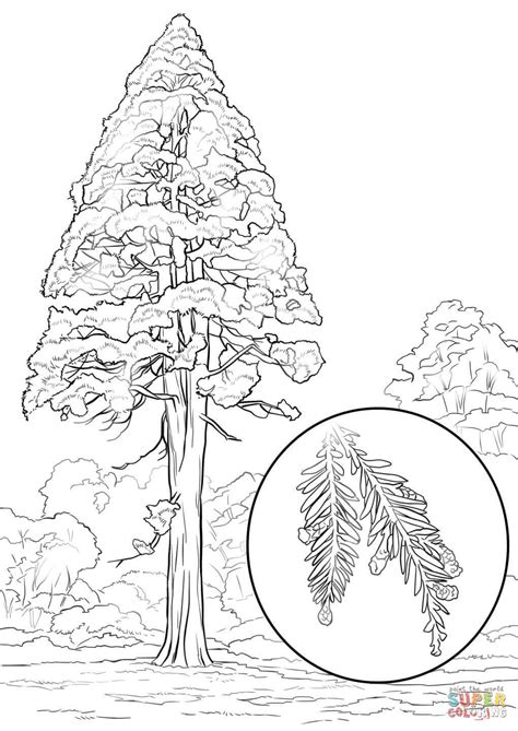 coloring page of redwood tree california redwood sequoia sempervirens coloring page