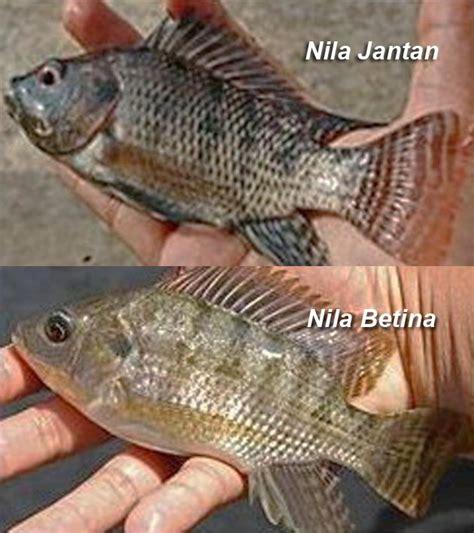 Bibit Ikan Nila Tahun 12 tahap mudah dan lengkap cara pemijahan dan pembenihan