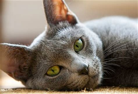 Do Russian Blue Cats Shed by 10 Top Non Shedding Cats Care Community