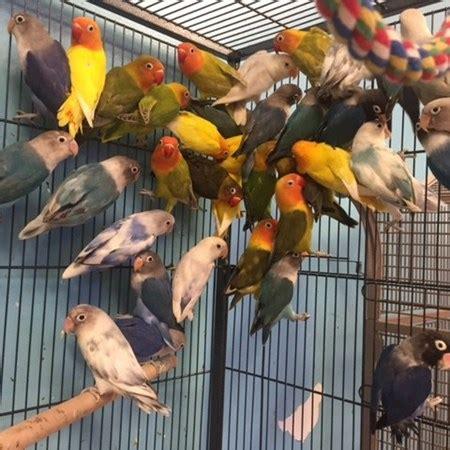 fischers lovebird 118965 for sale in chicago il
