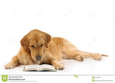 golden retriever reading golden retriever read a book stock images image 24728104