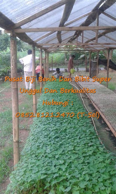 Bibit Pepaya Calina Siap Tanam 0812 1890 8795 wa penjual bibit buah pepaya calina siap