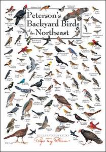 Backyard Bird Identification by Peterson S Backyard Birds Of The Northeast Poster Great