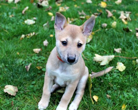 shiba inu puppies for sale beutiful shiba inu x whippet puppies for sale ipswich suffolk pets4homes