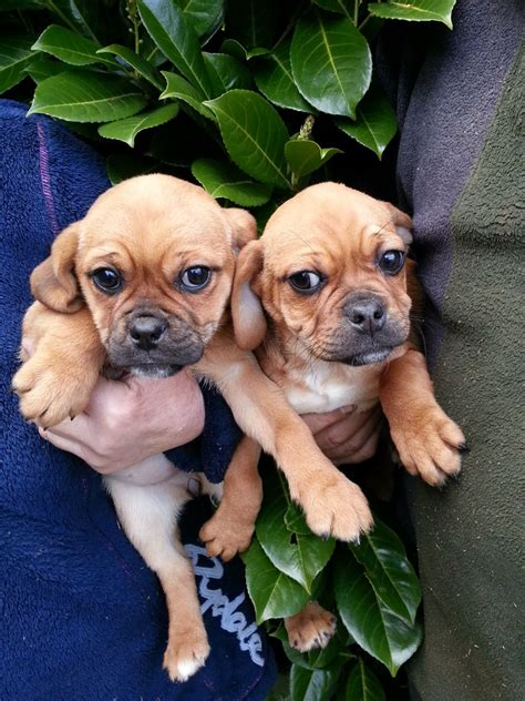 puggle puppies for sale in ohio puggle for sale puggle puppies for sale breeds picture