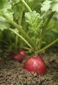 radis planter et cultiver des radis sur mon balcon