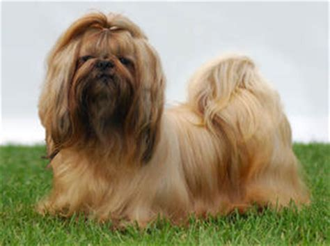 white and gold shih tzu shih tzu breed 187 information pictures more