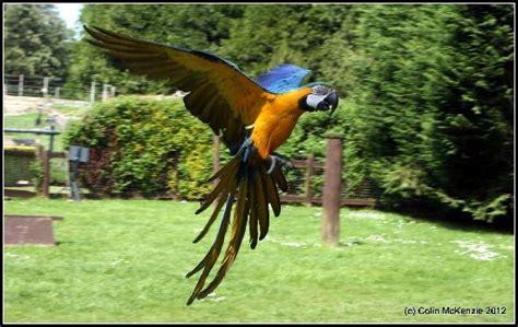 black cheeked lovebirds picture of birdworld farnham