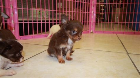 chihuahua puppies for sale in ga brown white chihuahua puppies for sale in at puppies for sale local