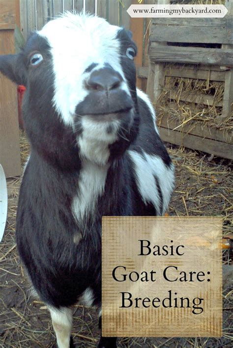 673 best images about pygmy goats on hay