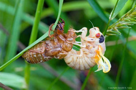 17 in years 17 year cicada hatch