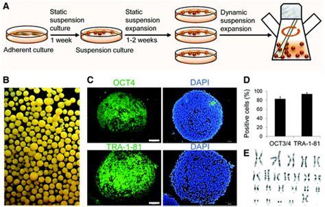 bioreactor cell culture protocol matrigel beyond the dish