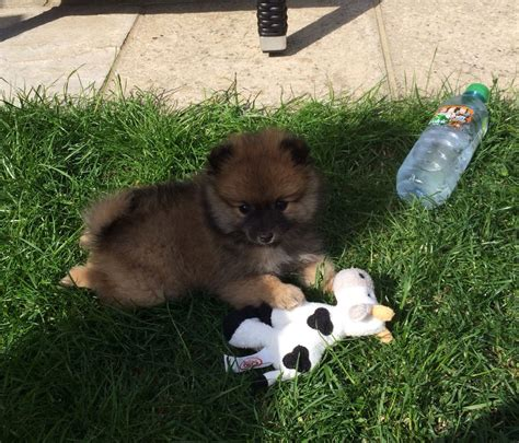 mini pomeranian puppy for sale miniature pomeranian puppy for sale loughton essex pets4homes