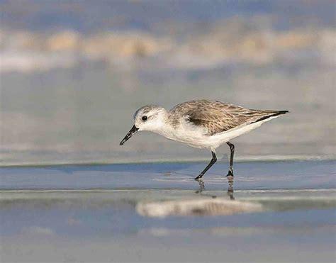 world shorebirds day abaco s 33 shorebird species 2