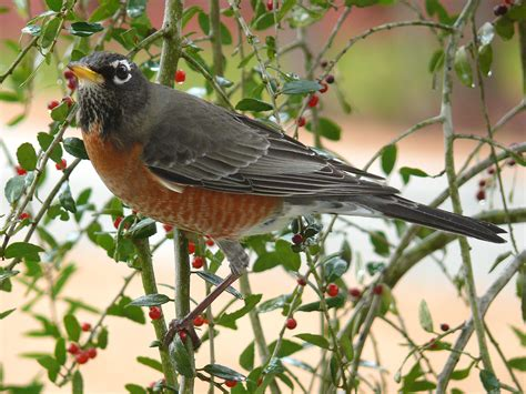 all about animal wildlife american robin facts and photos