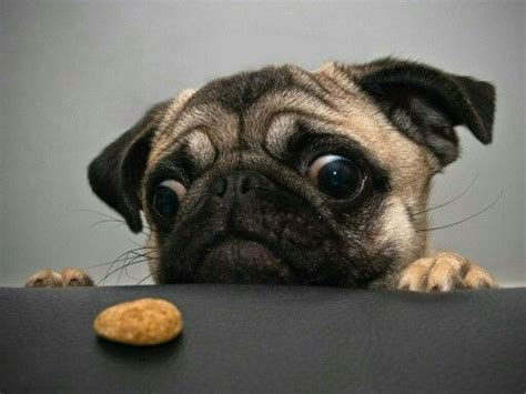 talking pugs talk about pugs and chicken nuggets