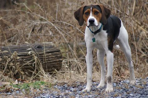 american foxhound puppies for sale american foxhound puppies for sale from reputable breeders