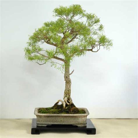 bonsai from native trees melaleuca bracteata australian native plants as bonsai