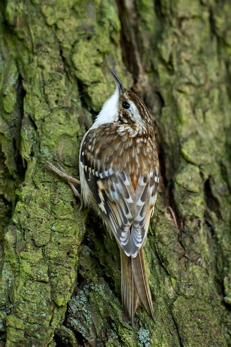the brown creeper birdnote