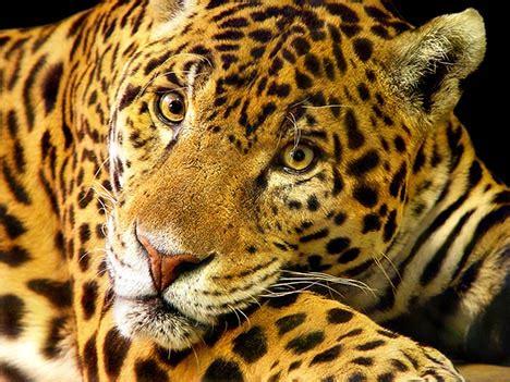 endangered species jaguar jaguars an endangered species saving the jaguars
