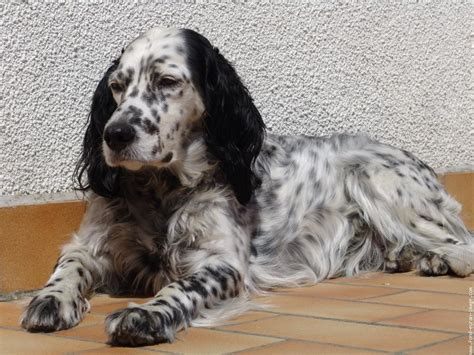 english setter dog wiki english setter breed guide learn about the english setter