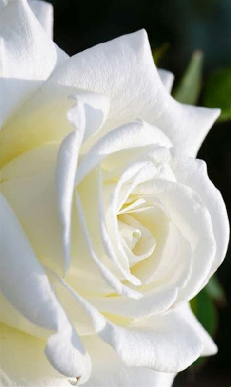 rosa blanca rose blanche cultivo una rosa blanca quot cultivo una rosa blanca en junio como en enero para el amigo sincero