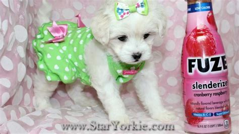 maltipoo puppies for sale los angeles maltipoo puppies for sale in los angeles tiny teacup puppies available now
