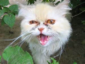 ugly white cat russian cats pictures